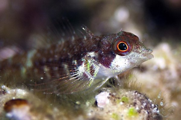 A beautiful crypobenthic fish shot close-up.