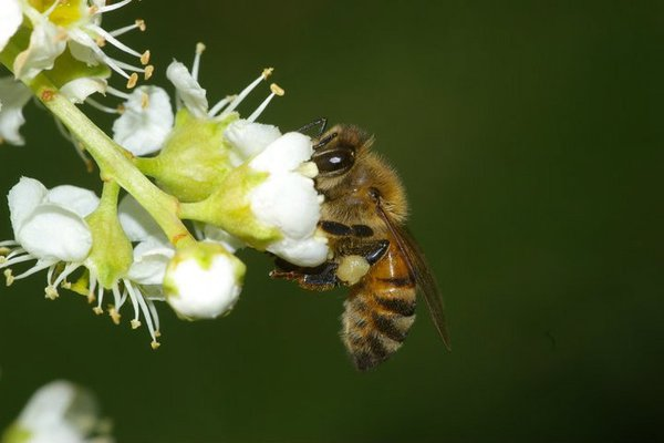 Honey Bee, Apis mellifera