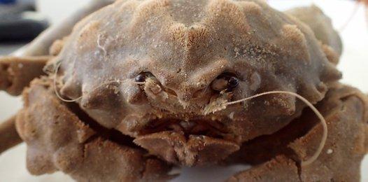 Sponge crab Dromia dormia.
