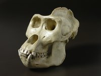 This a cast of a male gorilla, Gorilla gorilla, skull.