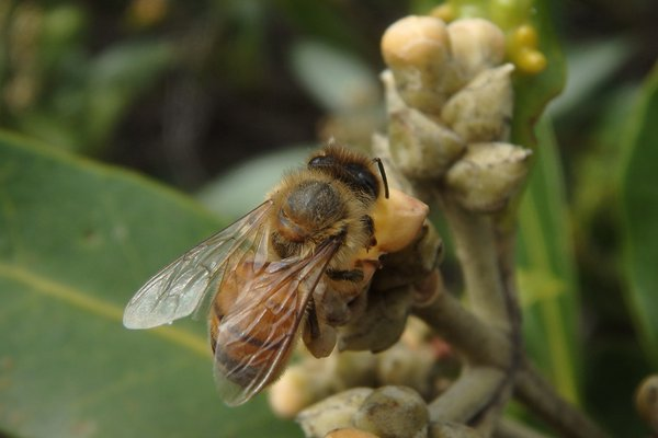 an image of Apis mellifera