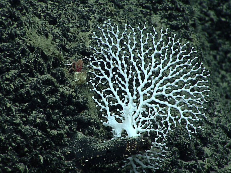 Stylaster coral - family Stylasteridae, Crypthelia sp.
