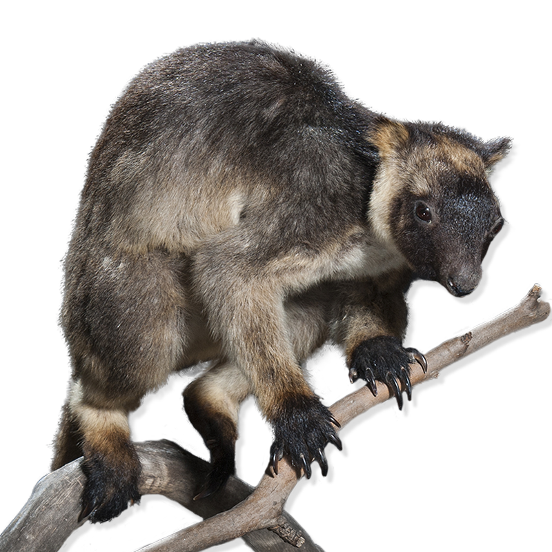 Taxidermy tree kangaroo
