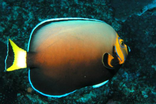 Conspicuous Angelfish