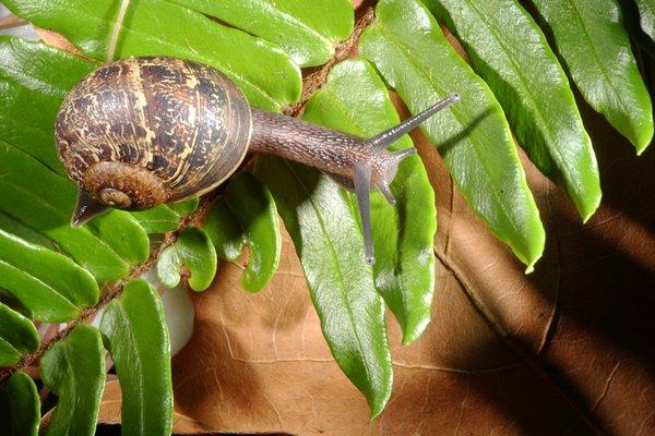 Cantareus aspersus