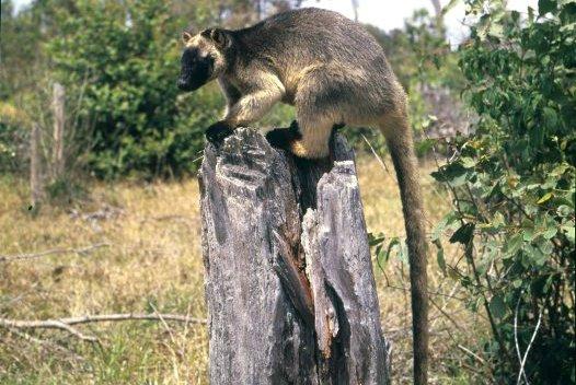 Lumholtzs Tree-kangaroo