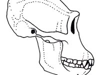 Illustration of a Chimpanzee skull