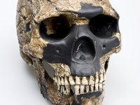 Skull & lower jaw - Skhul 5 skull Homo sapiens front view