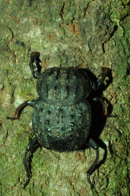 Aulacopris maximus, Dung Beetle