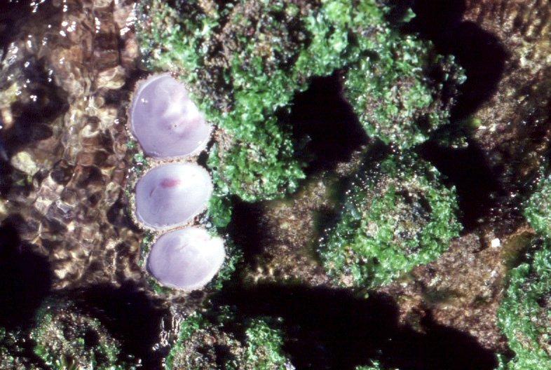 Pyura stolonifera