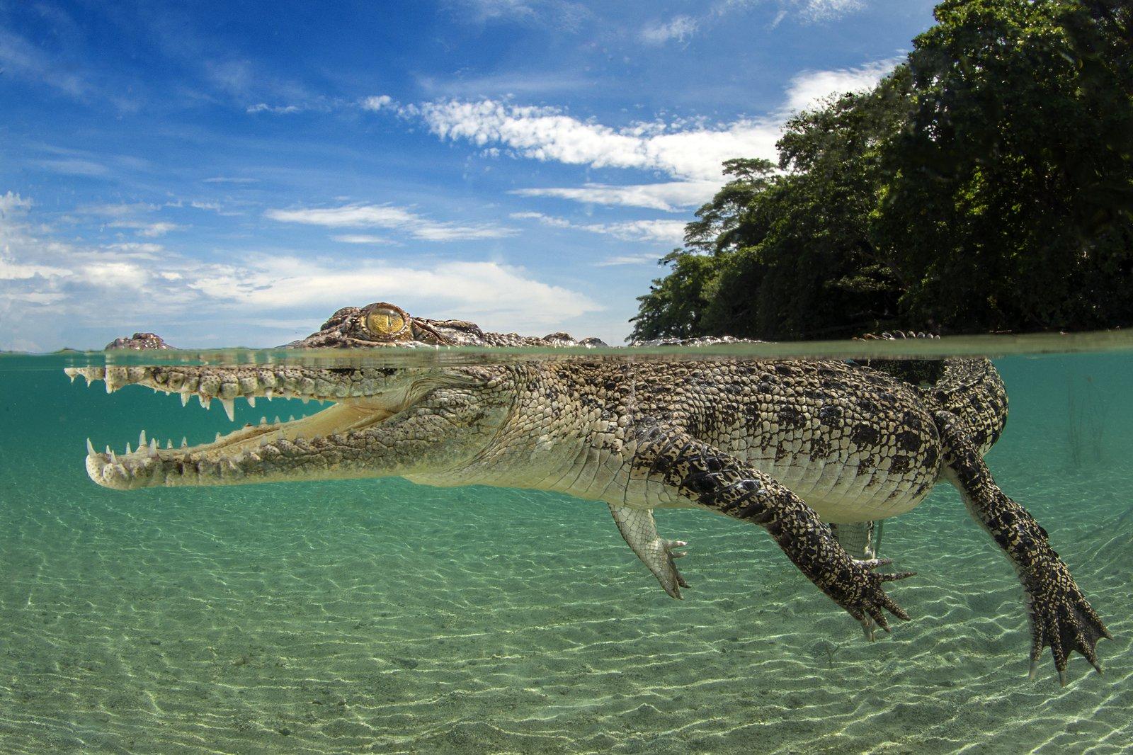 Saltwater Crocodile by Justin Gilligan