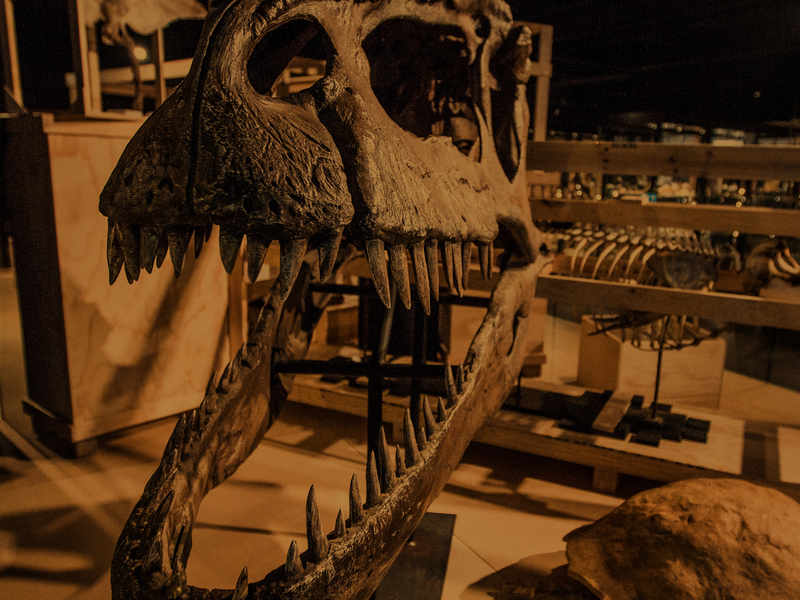 Dinosaur skeleton in a crate