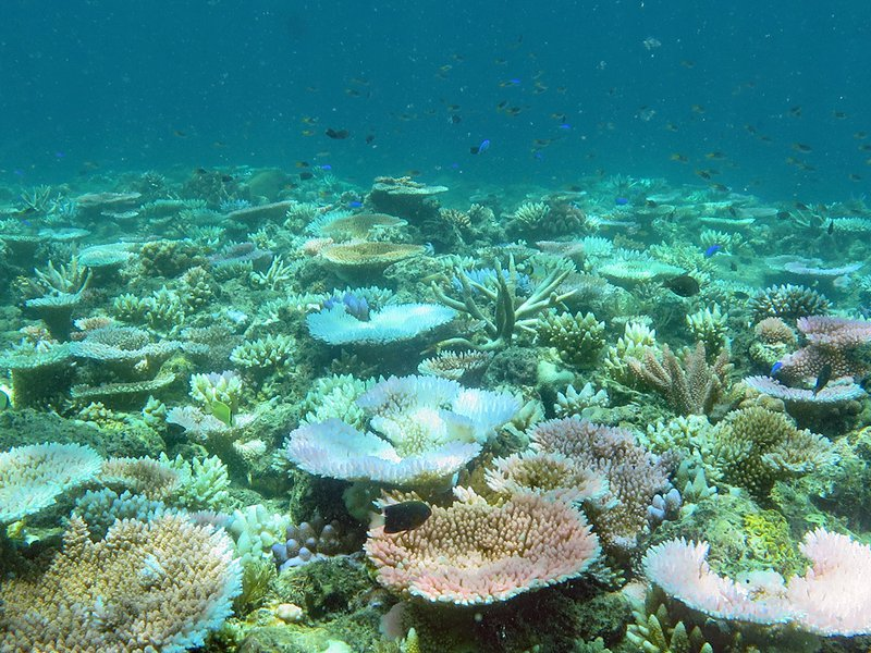 In mid-February 2021, most of these corals are in various stages of bleaching.