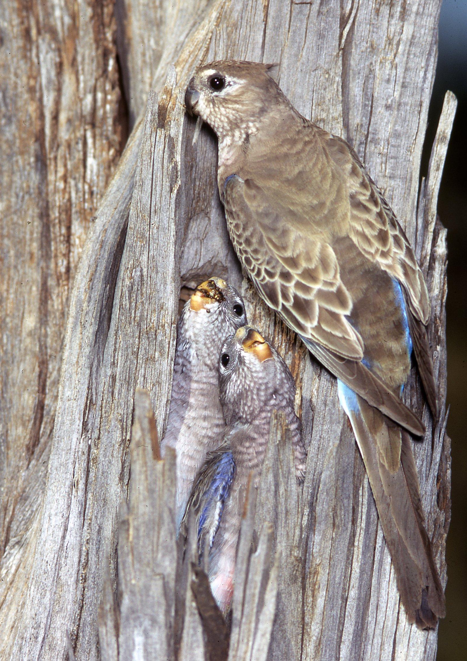 AMS405/13  Bourkes Parrot nestlings