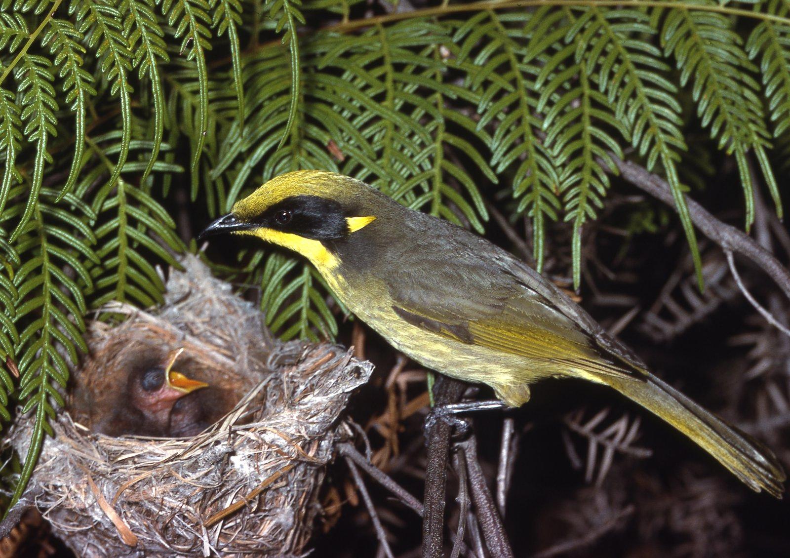 AMS405/227 Yellow-tufted Honeyeater nest