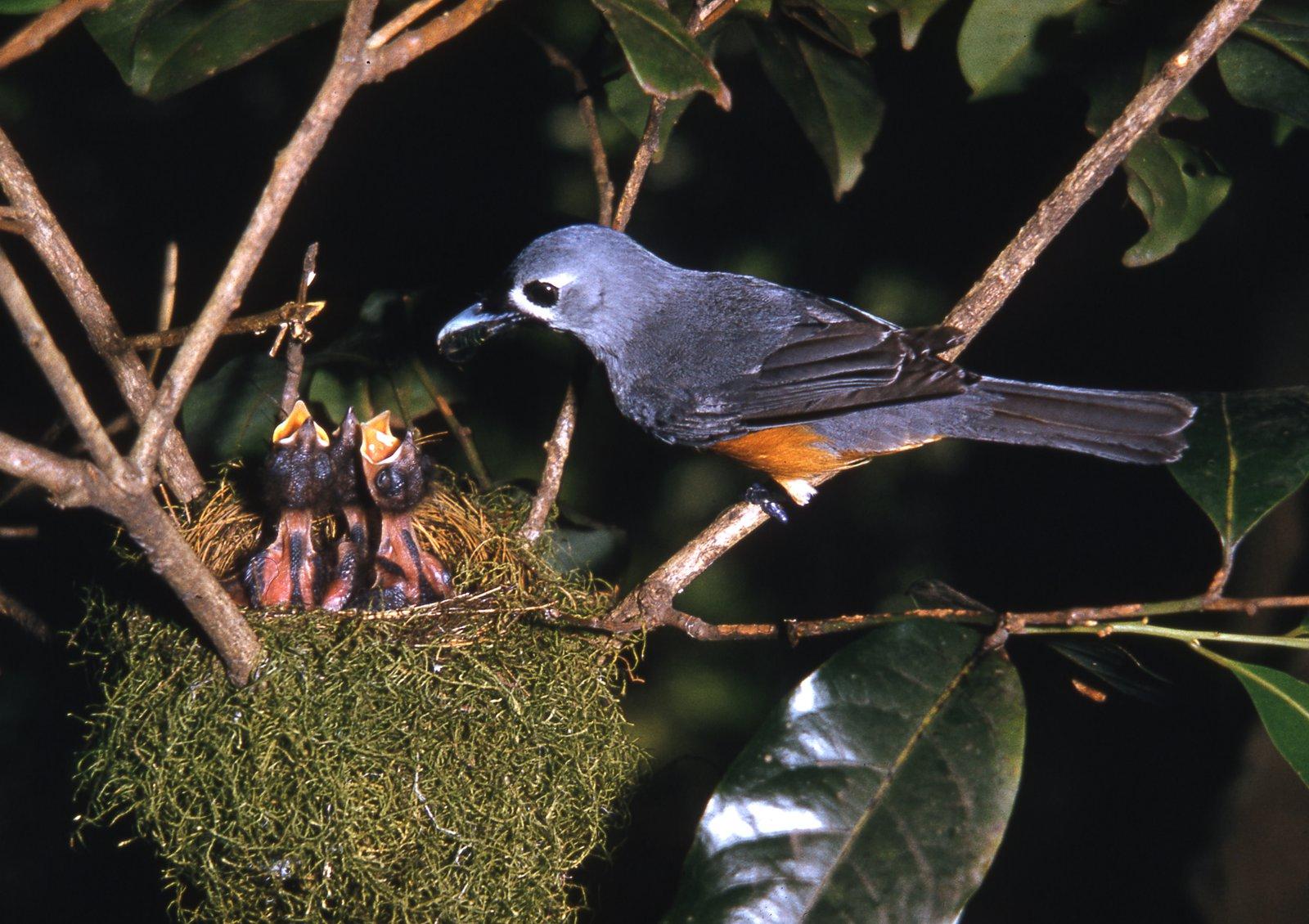 AMS405/228 Black-faced Monarch nest