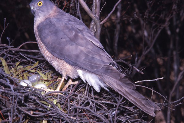 AMS405/35 Collared Sparrowhawk