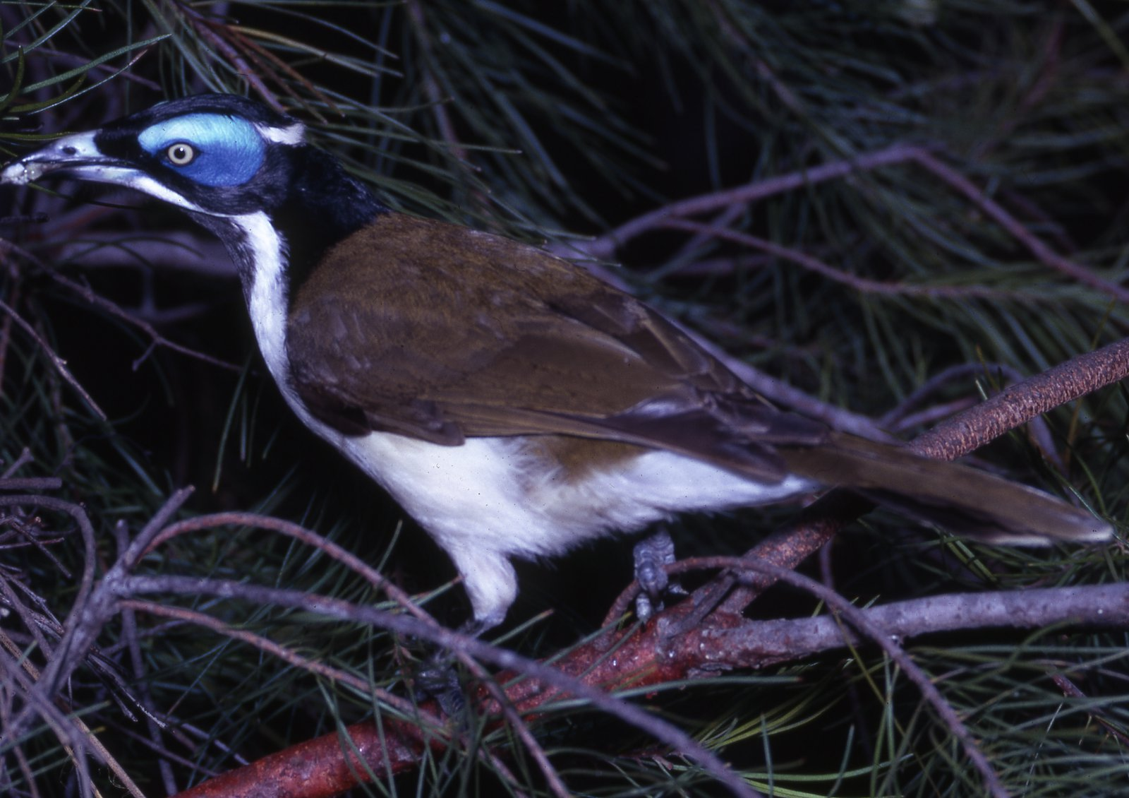 AMS405/81  Blue-faced Honeyeater