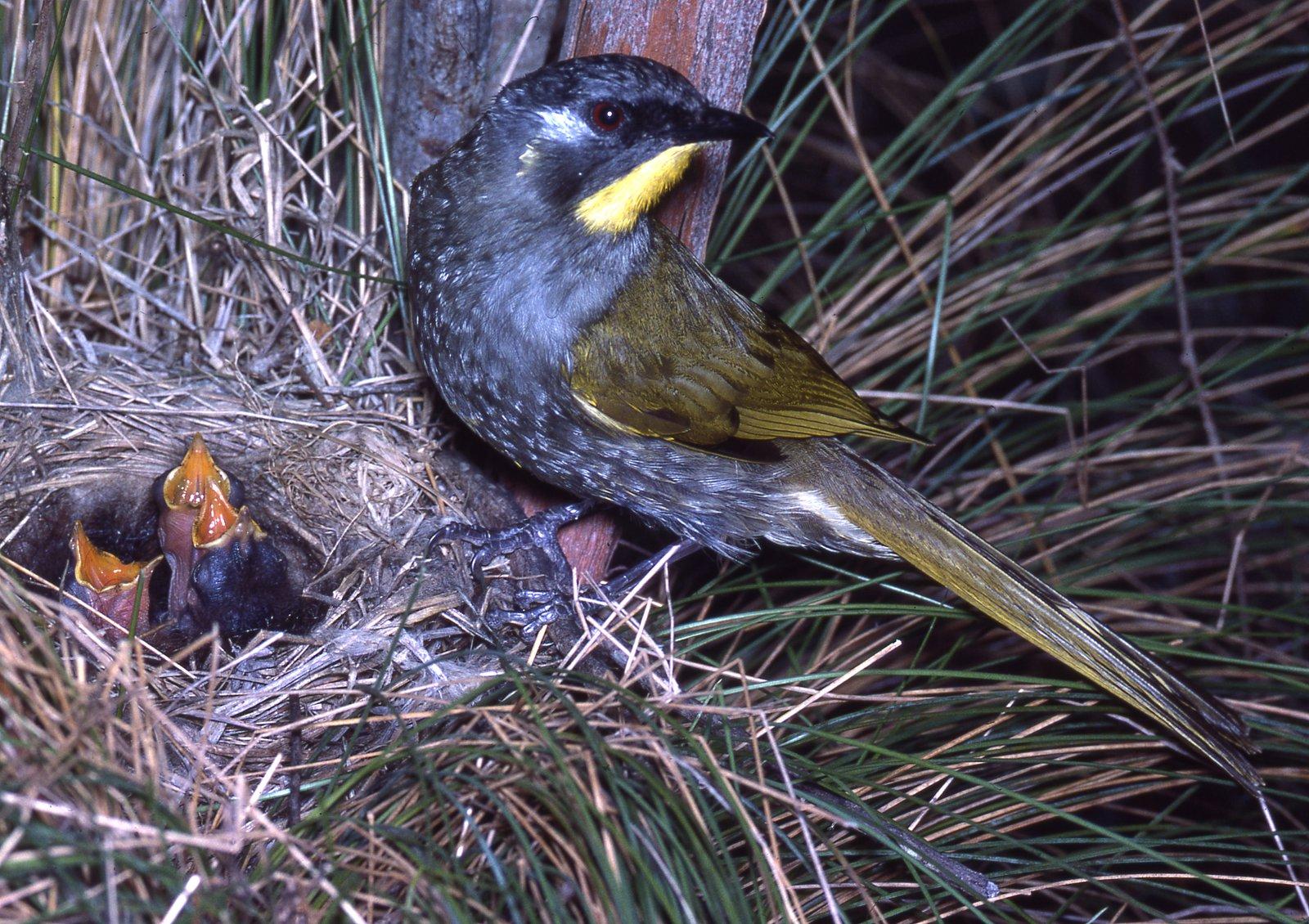 AMS405/85 Yellow-throated Honeyeater male