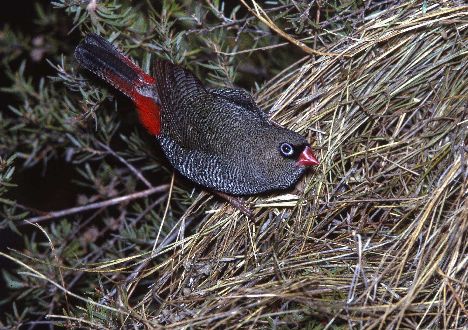 AMS405/95 Beautiful Firetail nest