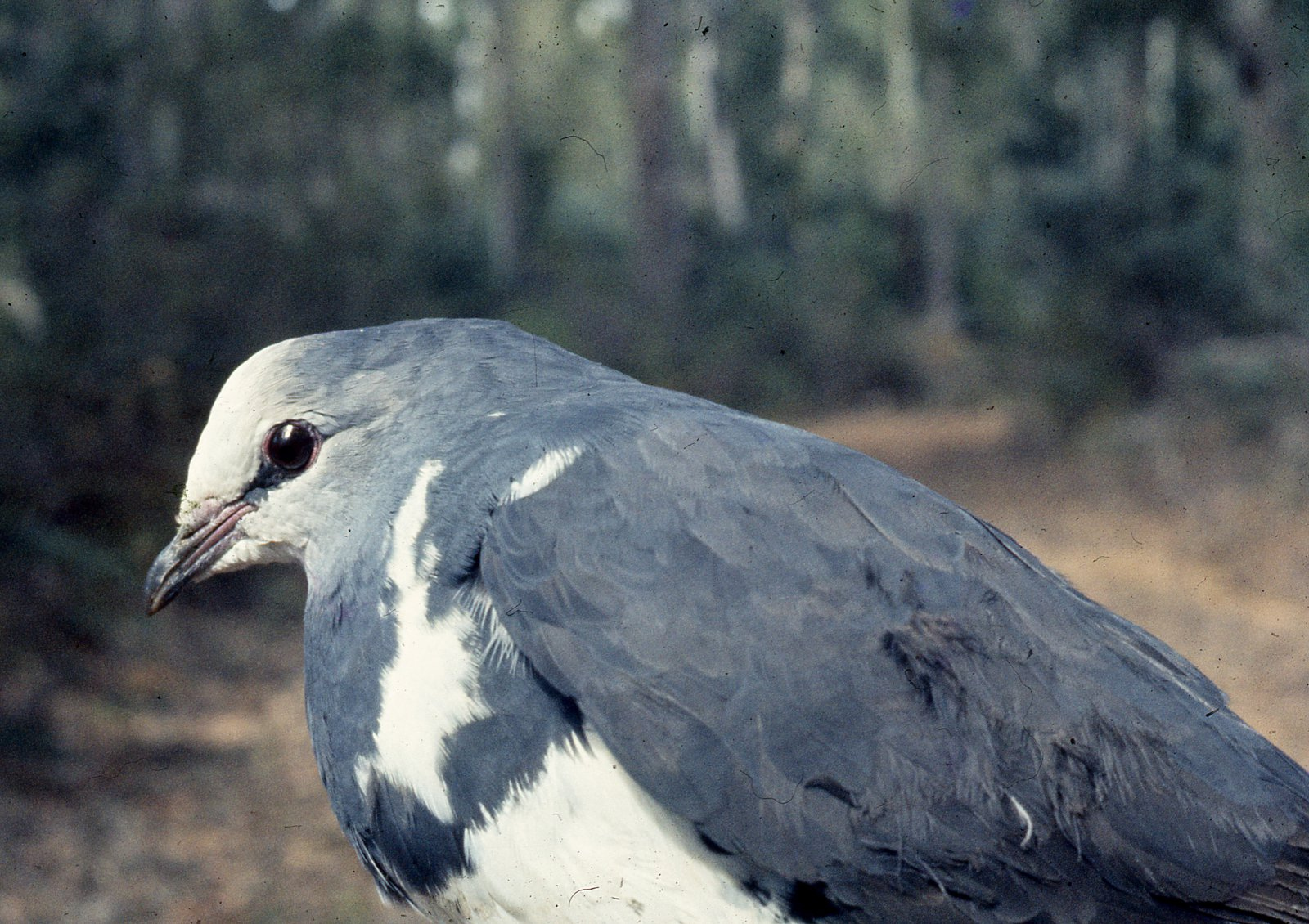 AMS407/170/CLx Wonga Pigeon