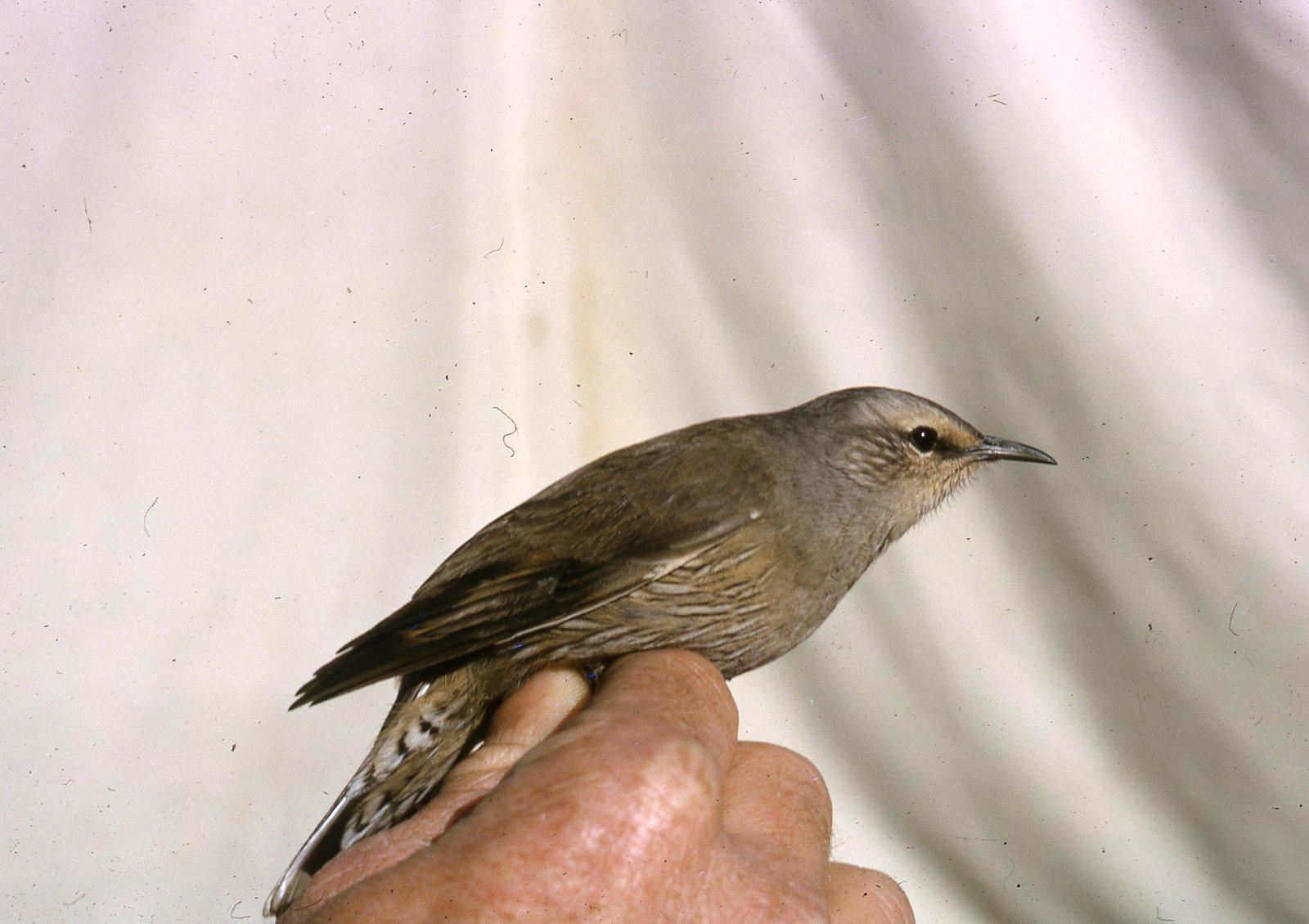 AMS407/x/CL555 Brown Treecreeper male