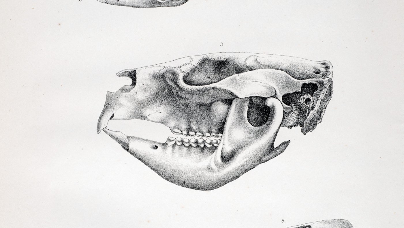 Australian Fossil Remains - Plate 16