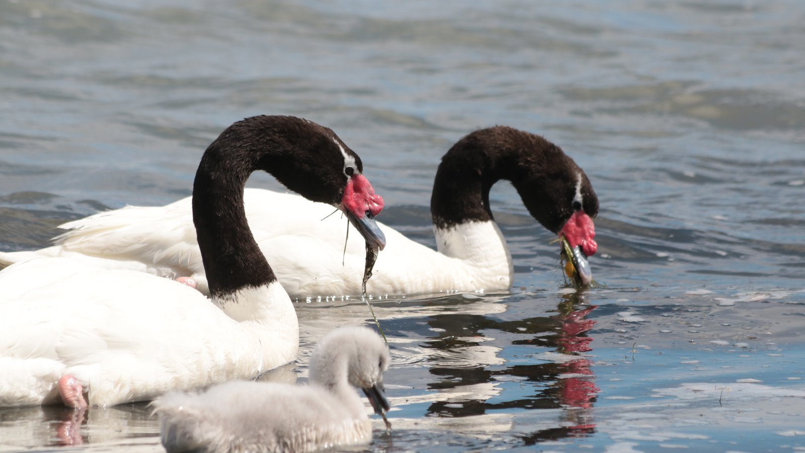 A pair of black-necked swans feed on aquatic plants.