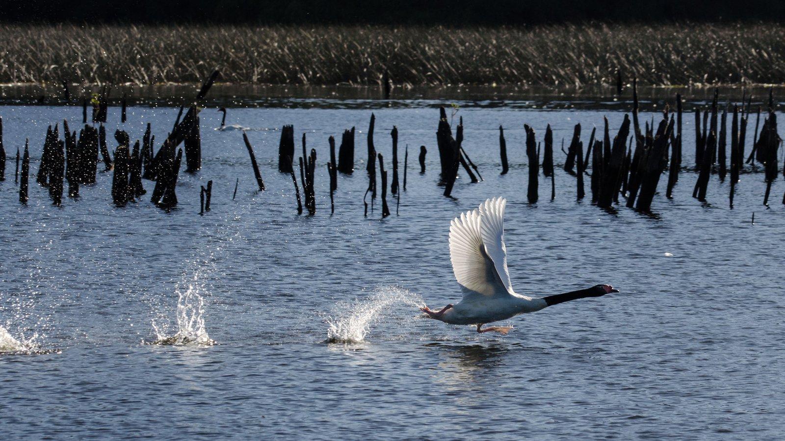 A black-necked swan (Cygnus melancoryphus) takes off for greener pastures.