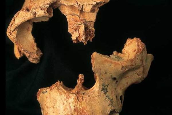 Incomplete skull of a <i>Homo antecessor</i> juvenile from Gran Dolina