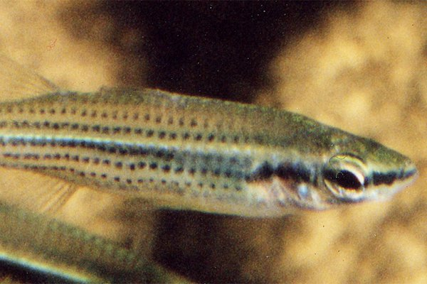 A Fly-specked Hardyhead, Craterocephalus stercusmuscarum at SA