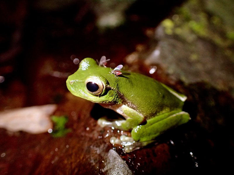 A Mountain Stream Tree Frog being parasitized by two Sycorax midges – note their abdomens engorged with blood