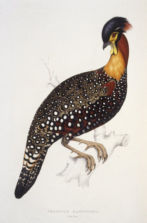 A century of birds from the Himalaya Mountains / by John Gould,