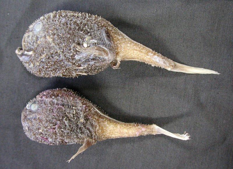 Deepsea coffinfish, <i>Chaunacops melanostomus</i>