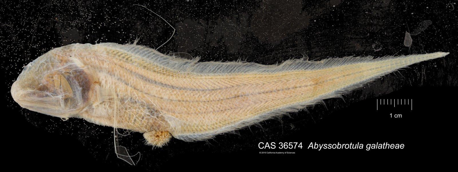 <i>Abyssobrotula galatheae</i>