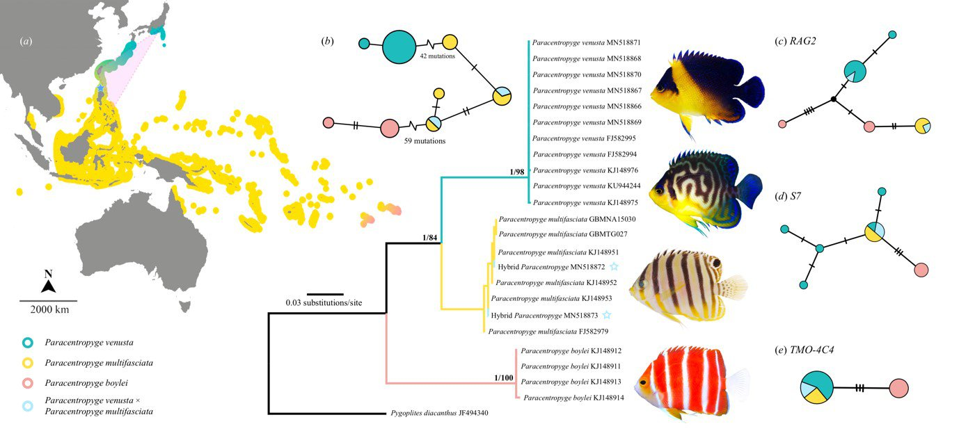 Advances in molecular techniques of hybrid identification - Paracentropyge venusta x P. multifasciata