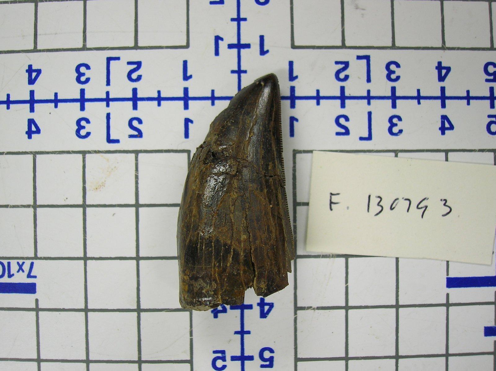 Albertosaurus tooth real fossil