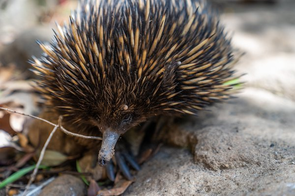 Echidna at Featherdale Wildlife Park