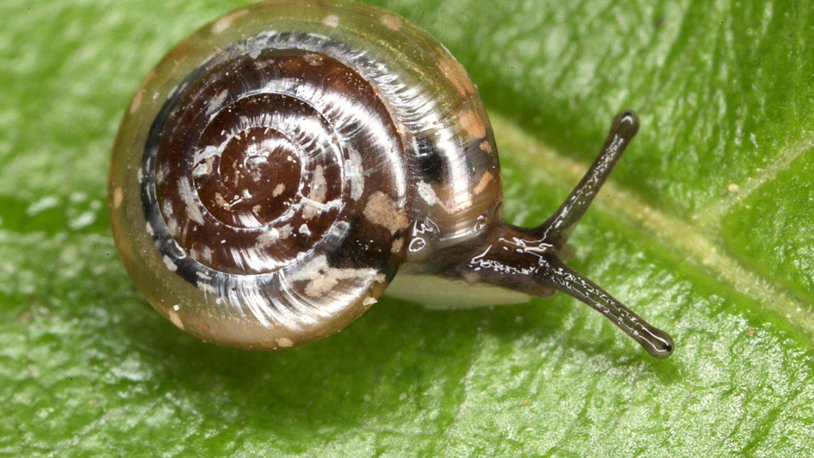 Allenoconcha basispiralis, one of Norfolk Island's endemic snails