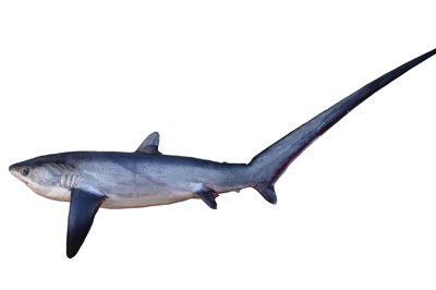 Pelagic Thresher, <i>Alopias pelagicus</i>