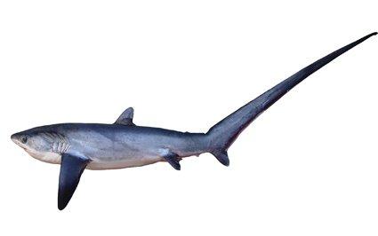 Pelagic Thresher, <i>Alopias pelagicus</i>