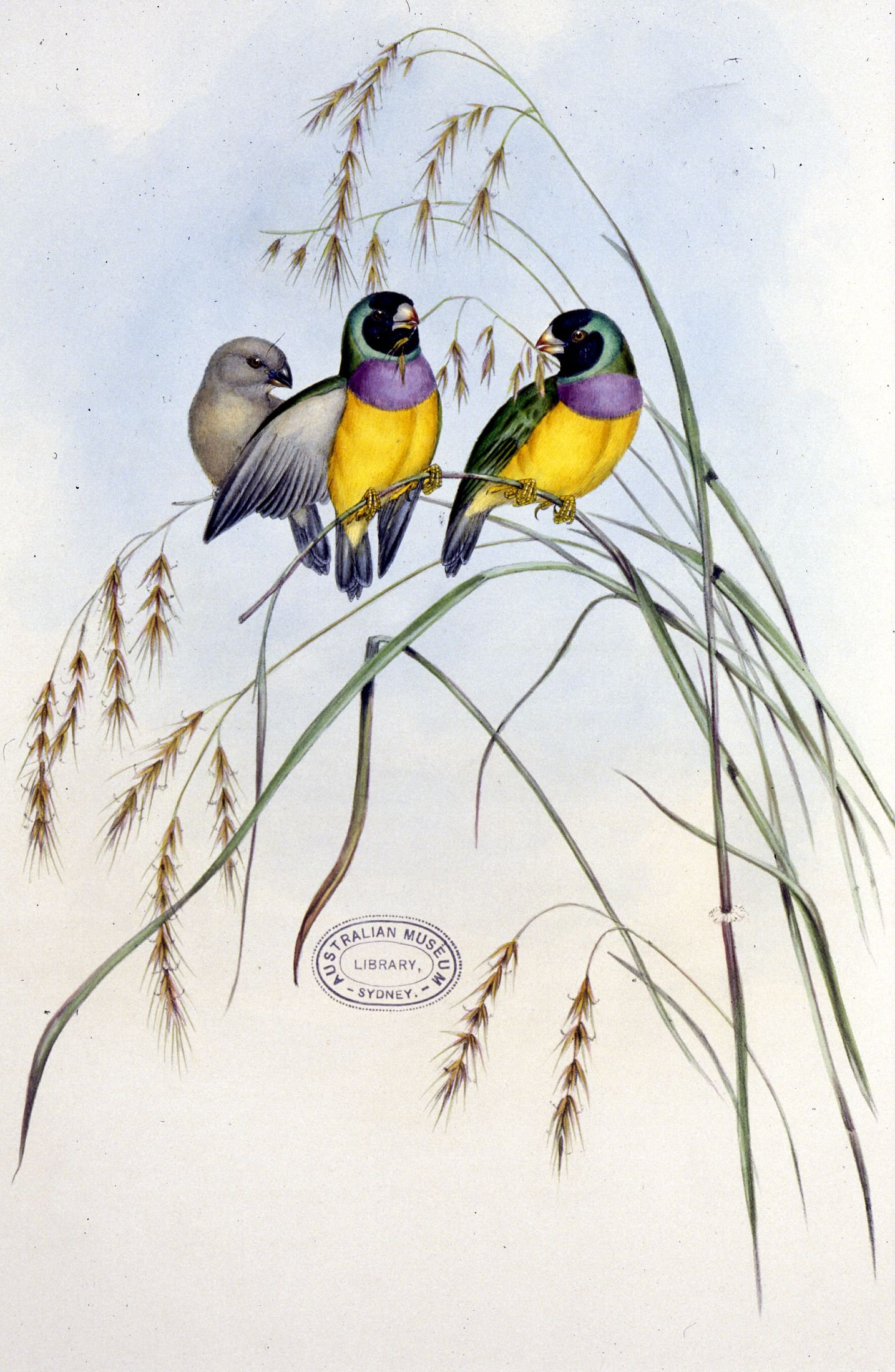 Amadina Gouldiae - Gouldian Finch