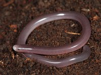 Blind Snake, Anilios nigrescens