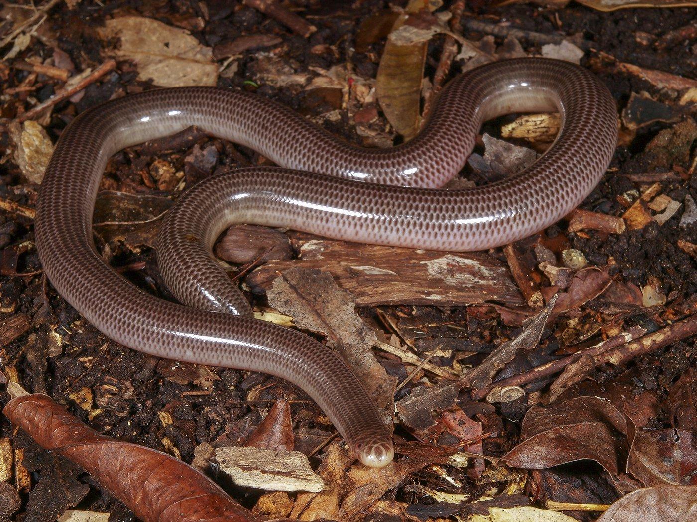 Blind Snake, Anilios nigrescens