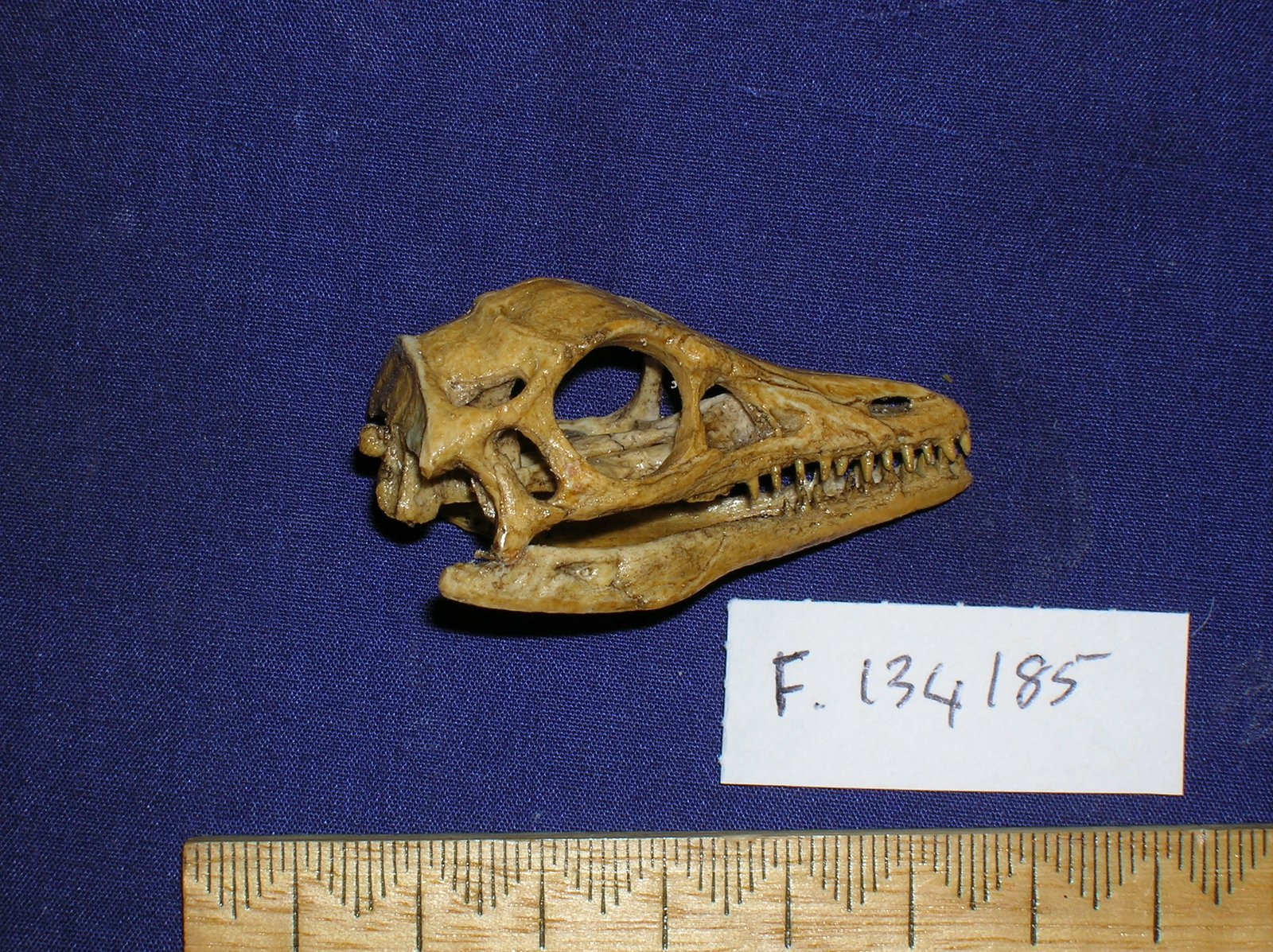 Archaeopteryx lithographica skull cast