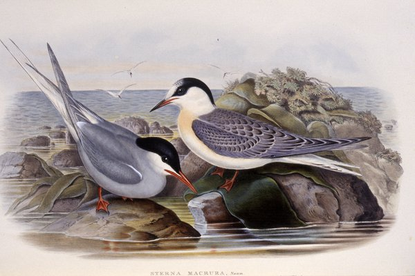 The birds of Great Britain. By John Gould, F.R.S., &c. ...