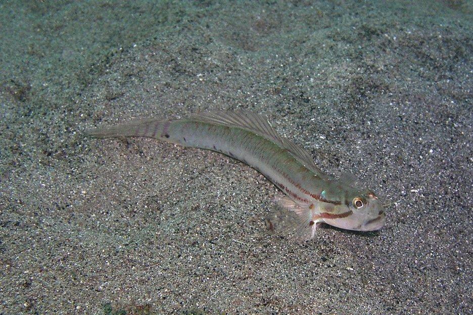Arenigobius bifrenatus