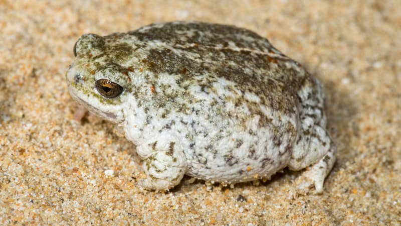 Northern Sandhill Frog, Arenophryne rotunda
