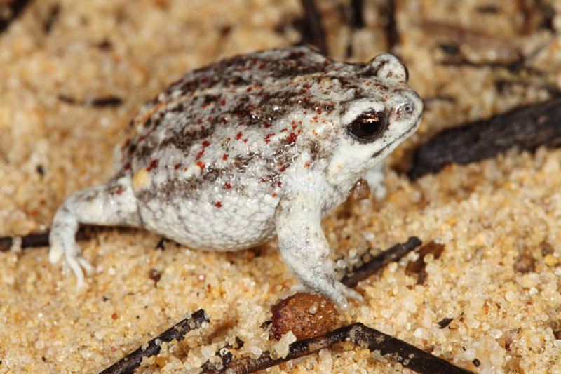 Southern Sandhill Frog, Arenophryne xiphorhyncha