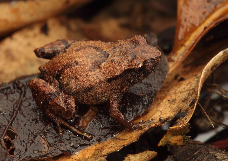 Pouched Frog, Assa darlingtoni